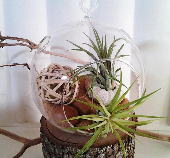 NATURALE - Round glass terrarium with (2)  Air plants, White sea urchin, Twig