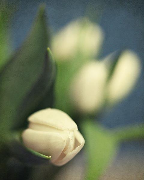 Tulip Flower Photograph - White Tulips - spring blue green white floral garden