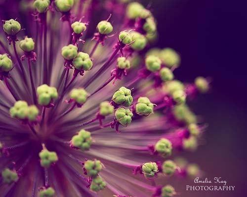 Fine Art Flower Photography - Purple and Lime Green - fall autumn decor amethyst