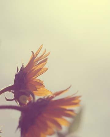 Nature Sunflower Flower Photography - 8x10 wall decor fall autumn harvest gift