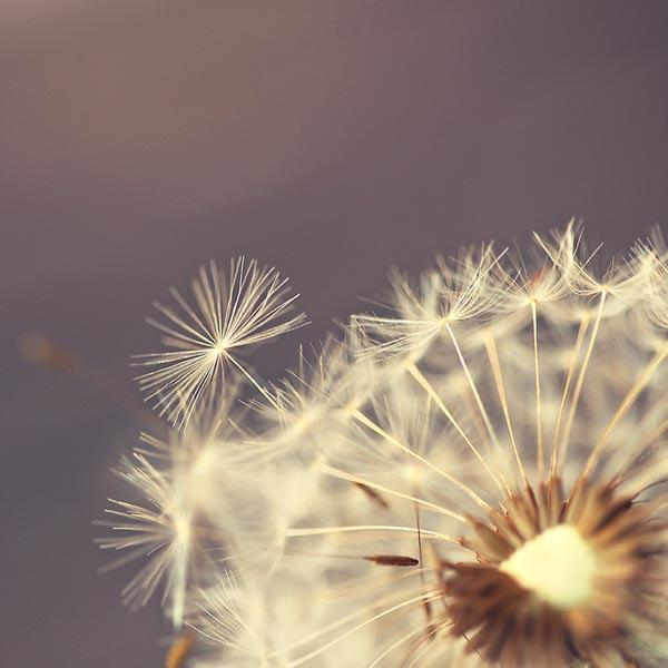 White Dandelion Flower Photography - Fall Autumn decor Thanksgiving dreamy