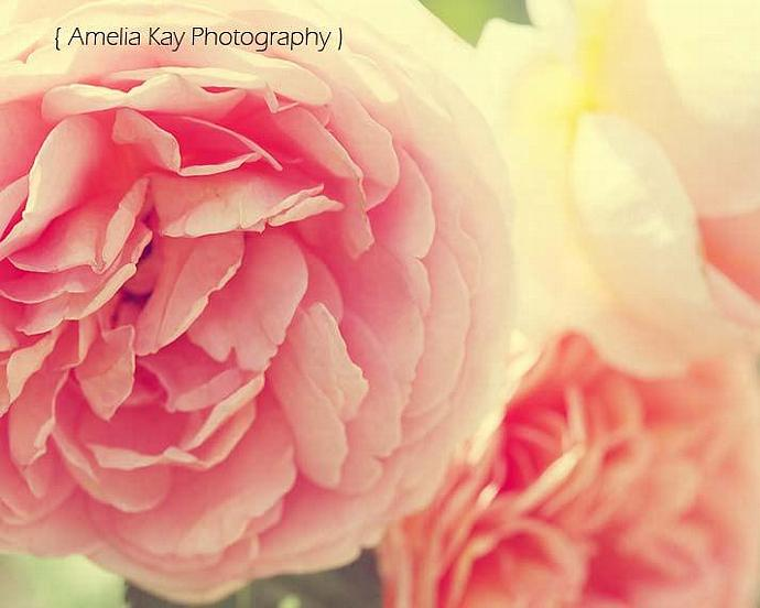 Nature Photograph - Loves Whisper - 8x10 flower Peach Pink romantic white yellow