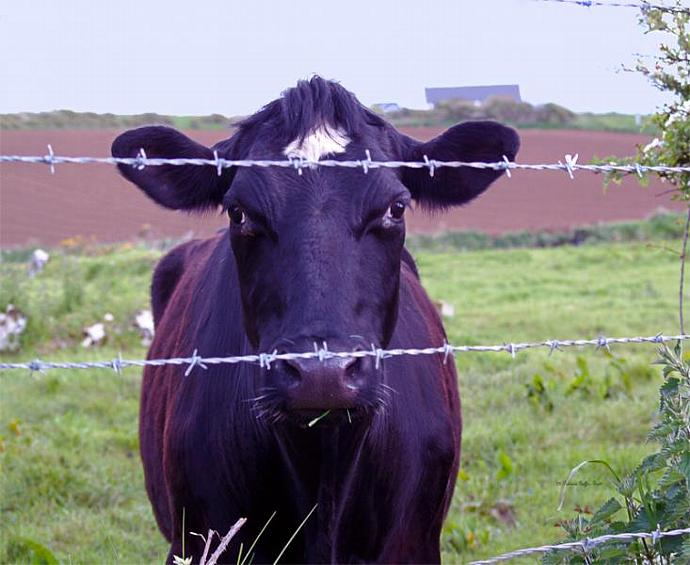 Don't Fence Me In- fine art print, photograph, Ireland, cow