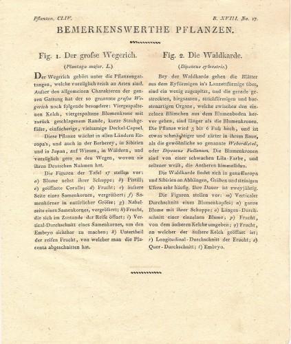 Teasel and Plantain 1815 Austrian Biedermeier Era Botanical Engraving
