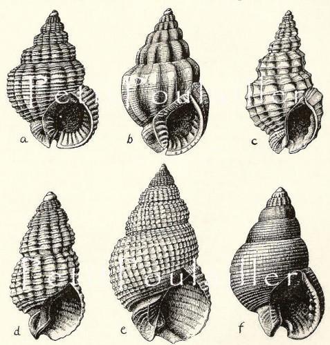 Seashell Engravings 1954 Mid Century Black and White Shell Antique Engravings,