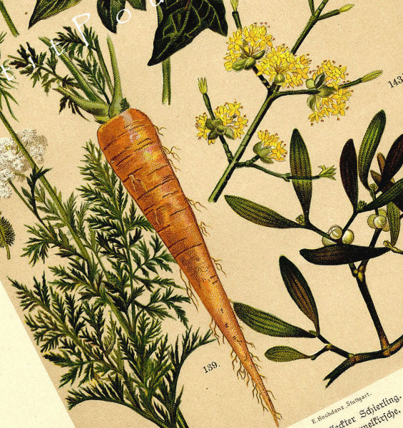 Common Carrot 1892 Antique German Botanical Engraved Chromolithograph, Pl 26