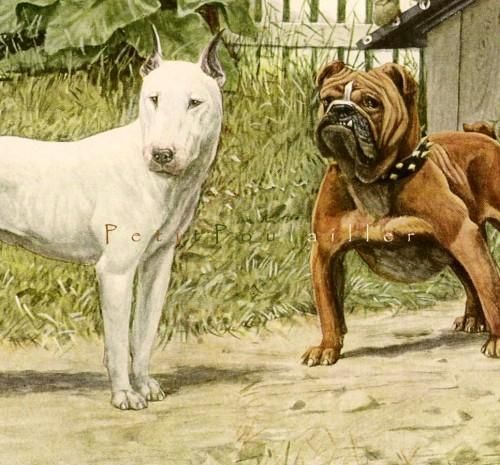 English Bulldog and Bull Terrier 1919 Edwardian Louis Agassiz Fuertes Antique