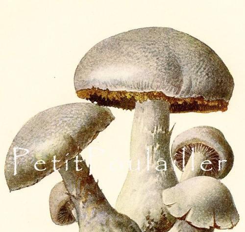 German Poisonous Mushrooms 1924 German Botanical Lithographs, Pl 59-60