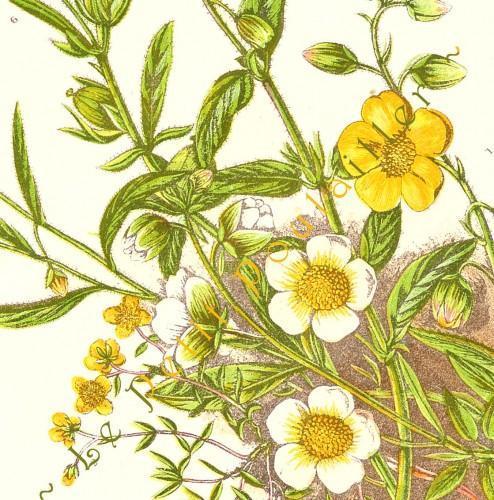 Rock Rose 1889 Victorian Anne Pratt Antique Botanical Chromolithograph, Pl 32