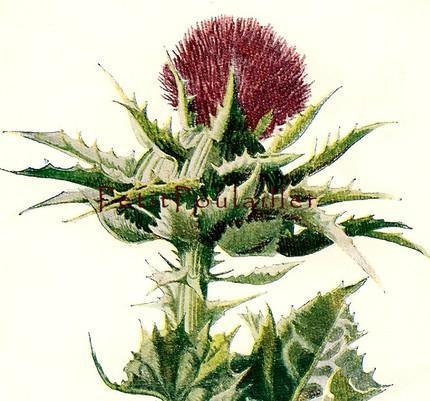 Milk Thistle 1882 Victorian F Edward Hulme Antique Wildflower Botanical