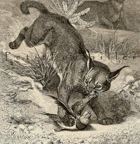 Caracal Hunting 1894 Victorian Friedrich Specht Royal Natural History Antique