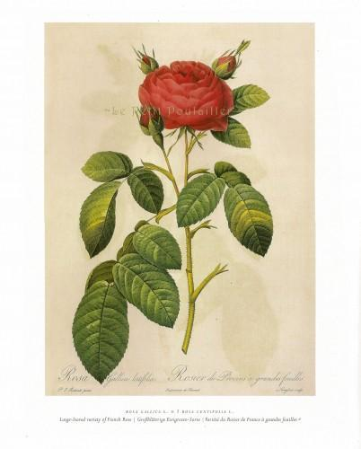 French Rose Varieties 1954 Vintage Pierre Redoute Botanical Lithographs