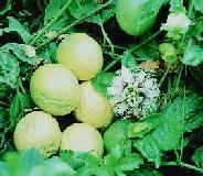 50 seeds of the passiflora edulis var flavicarpa, yellow passion fruit or