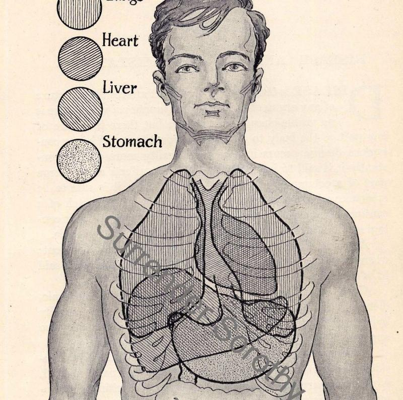 Human Anatomy Chart Heart And Lungs 1920 By Surrenderdorothy On