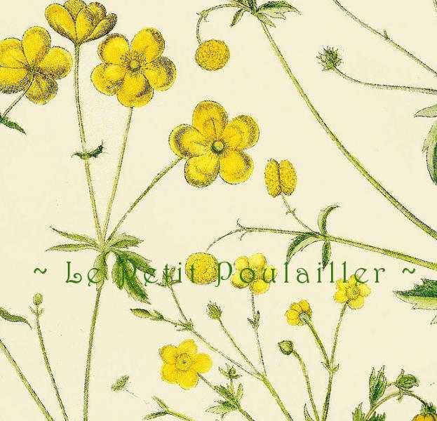 Buttercups 1978 Vintage Basilius Besler Wildflower Botanical Lithographs