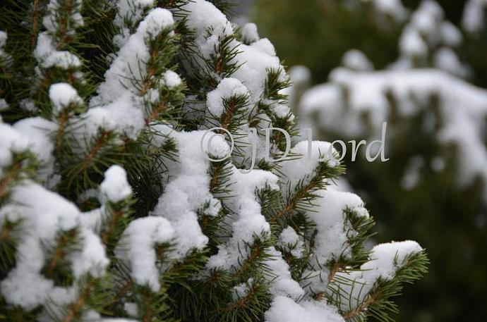 Cedar Tree in the Snow Fine Art 5 x 7 Photo