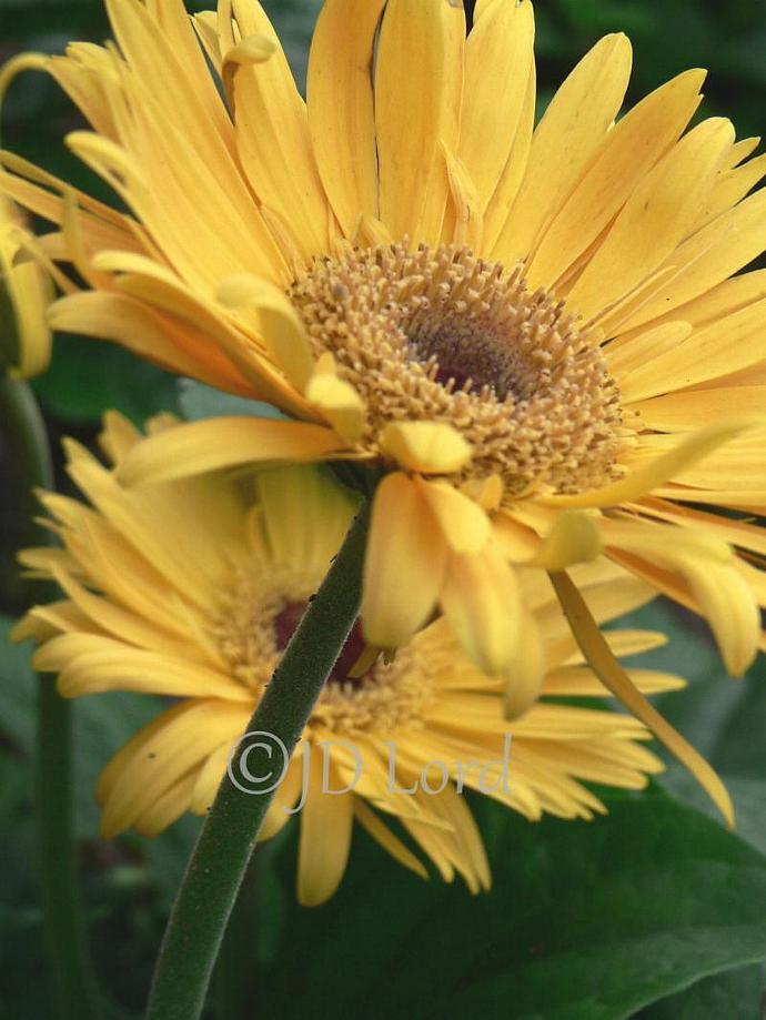 Yellow Gerbera Daisy Fine Art 5 x 7 photo