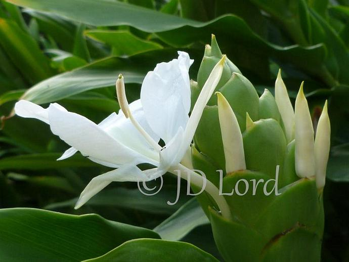 Ginger Lilly Fine Art Photography 5 x 7 Print.