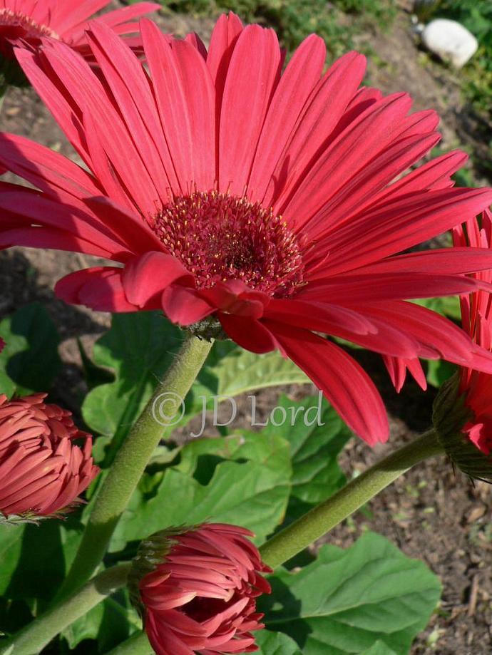 Red Gerbera Daisy Flower Fine Art 5 x 7 photo