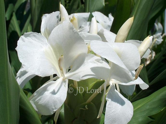 Ginger Lilies Fine Art Photograph 5  x 7 print