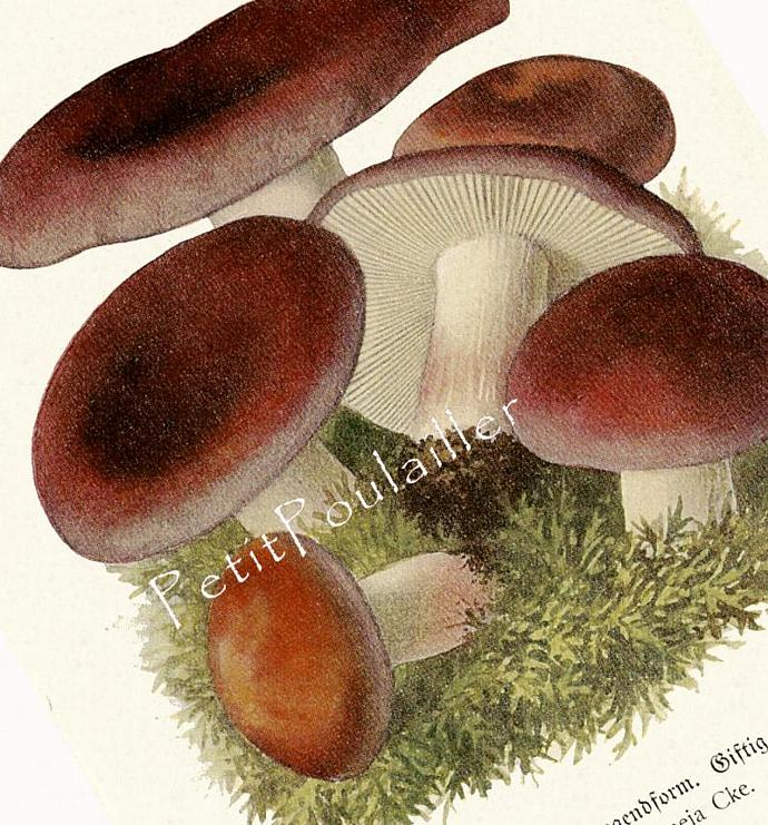 Beautiful Mushrooms 1924 Antique German Botanical Lithographs, Pl 67-8