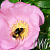 Bee in the Buttercup fine art print