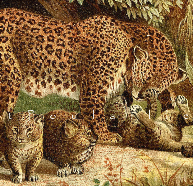 Leopard Family 1894 Victorian Wilhelm Kuhnert Royal Natural History Antique