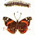 Peacock, Red Admiral, Painted Lady Butterflies 1900 Edwardian Antique Natural