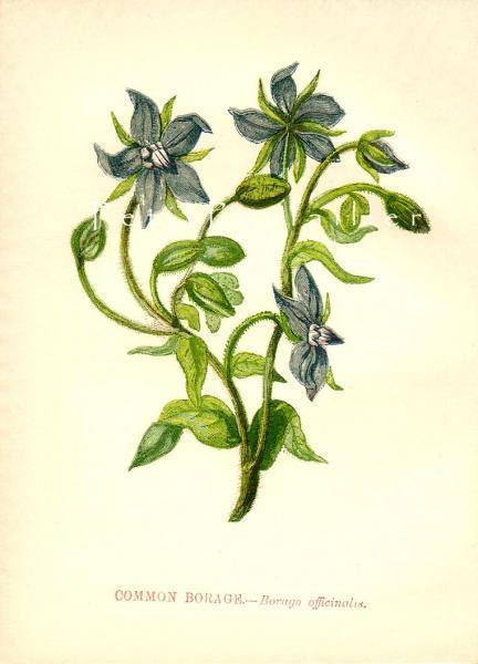 Common Borage 1856 Antique Anne Pratt Victorian Wildflower Chromolithograph