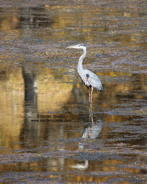 Heron with Reflection in Golden Pond Nature Photography All Occasion Greeting