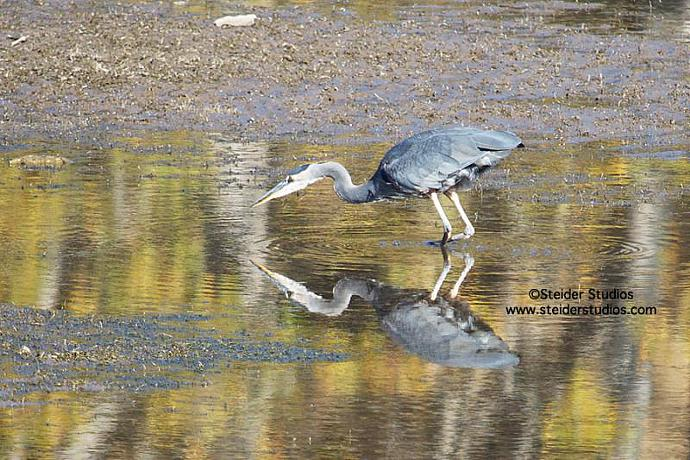 Heron Fishing Reflected in Autumn Colors Nature Photography All Occasion