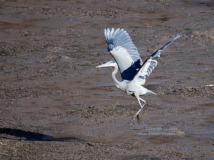 Great Blue Heron Dancing Nature Photography All Occasion Greeting Card