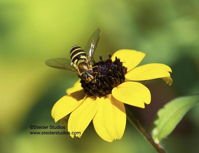 Hover Fly Pollinates Yellow Black Eyed Susan Nature Photograph All Occasion