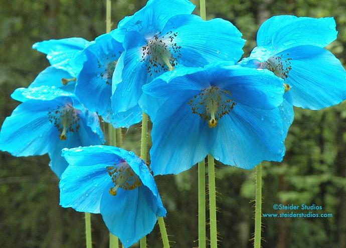 Himalayan Blue Poppies Botanical Photograph All Occasion Greeting Card