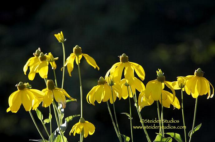 Sunlit Yellow Rudbeckia Flowers in a Summer Garden Botanical Photo All Occasion