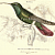 Black Breasted Humming Bird 1843 Victorian Sir William Jardine Naturalist