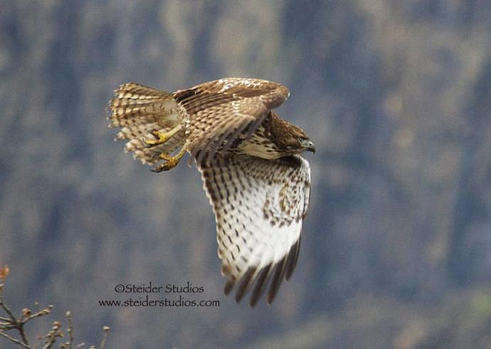 Hawk in Flight Nature Photograph All Occasion Greeting Card