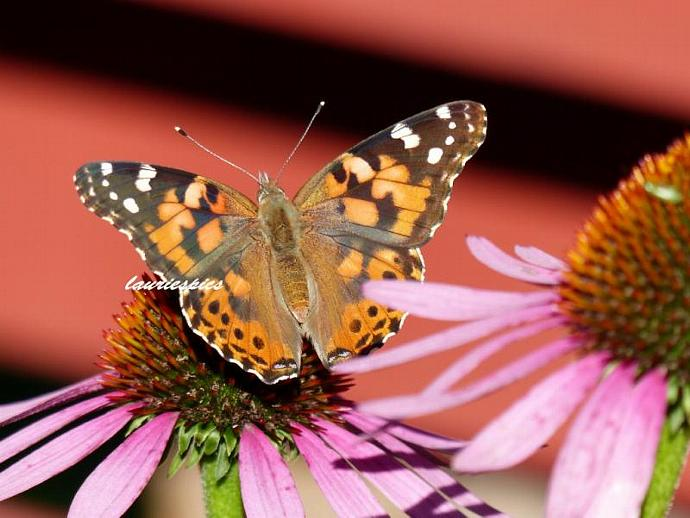 5x7 print, original photography, Painted lady butterfly, butterfly print, nature