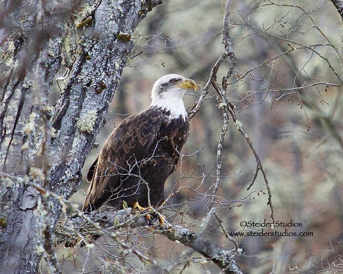 Bald Eagle Resting in Tree Between Meals Nature Photograph Greeting Card