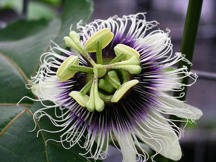 Hawaiian Lilikoi seeds - yellow and purple passion fruit, passiflora