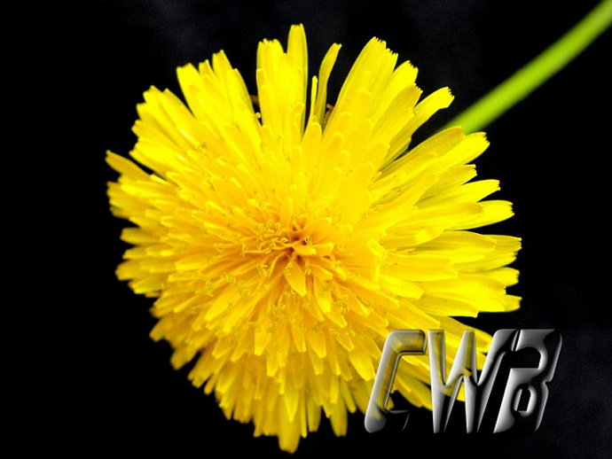 Yellow Dandelion fine art print