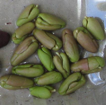 Clove tree seeds (10)