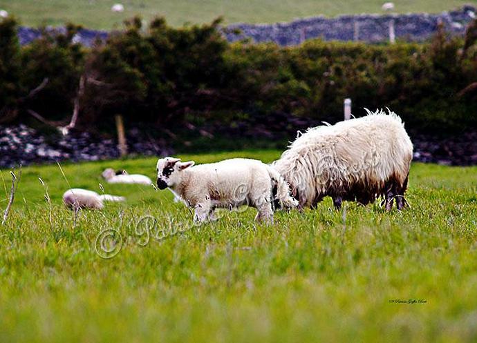 Mary Had a Little Lamb- lamb photo- Ireland- fine art print