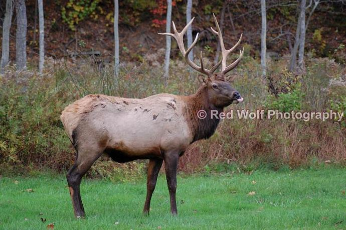 Bull Elk Photo Print