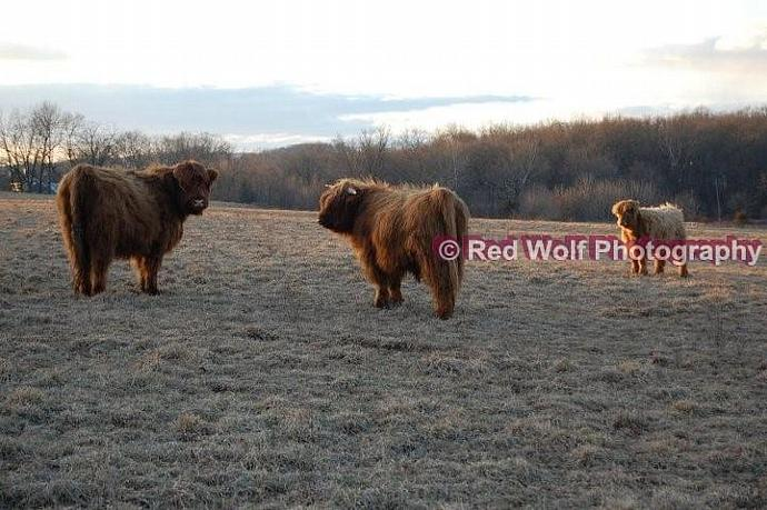 Scottish Cattle Grazing Photo Print
