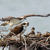 Osprey Family with Babies in Nest on Columbia River Nature Photography All