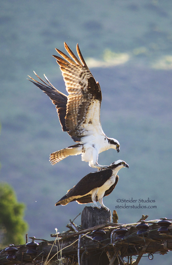 Pair of Osprey Mating along Columbia River, Nature Photography All Occasion