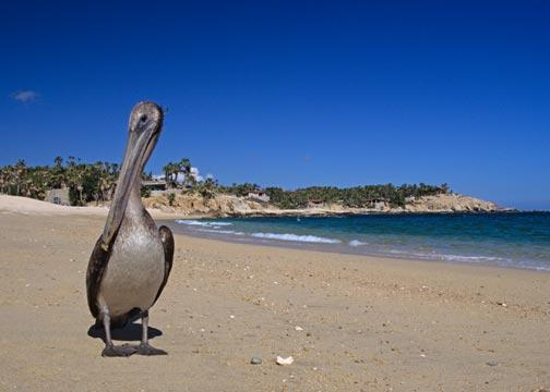 A Brown Pelican on the Beach in the Baja Mexico