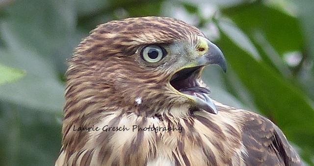 5x7 print, original photography, Young Hawk, nature print, Minnesota print, hawk