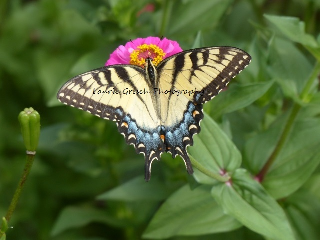 5x7 Print, original photography, Tiger Swallowtail Butterfly on Zinnias,